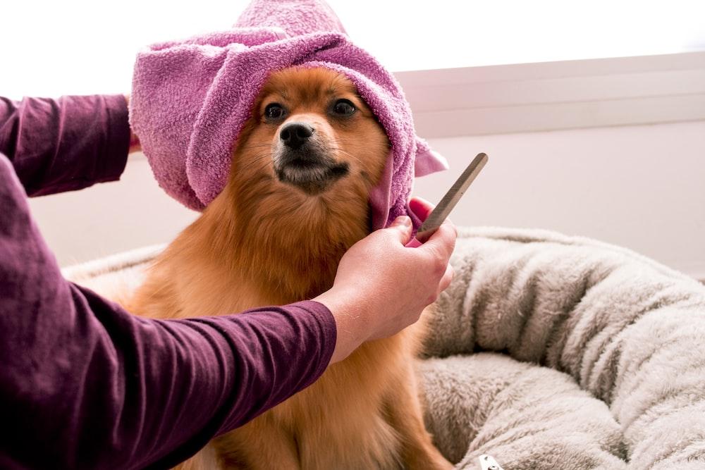 brown pomeranian wearing pink towel