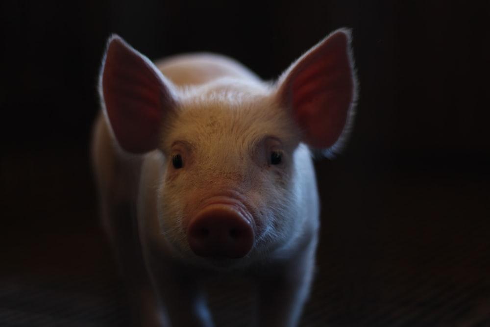 white pig on black background