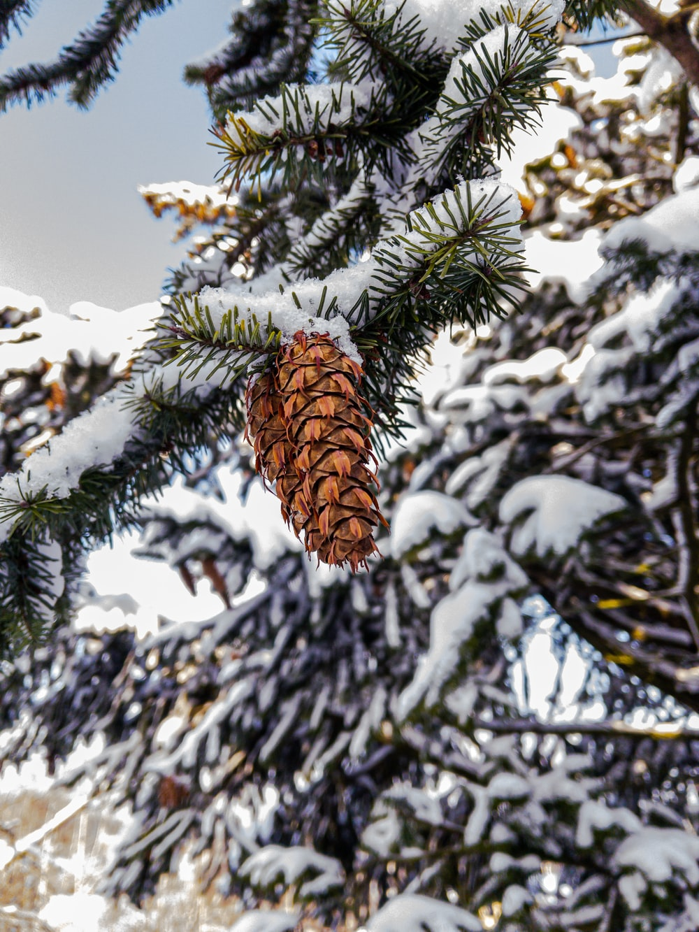 brown pine cone on snow covered ground