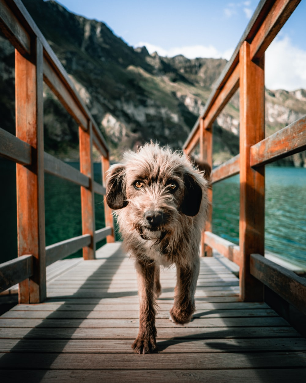 white and brown long coated dog on brown wooden dock during daytime