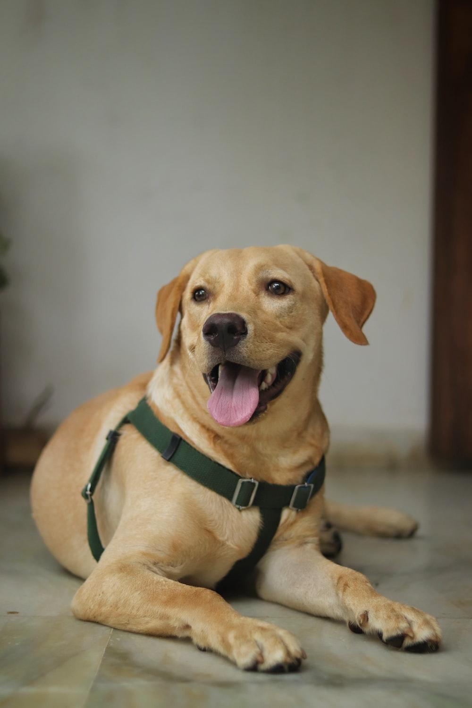 brown short coated dog lying on floor