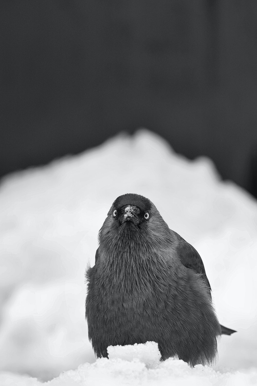 black and gray bird on snow covered ground