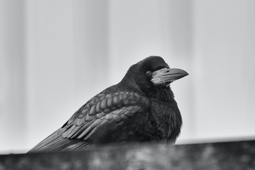 black bird on brown wooden table