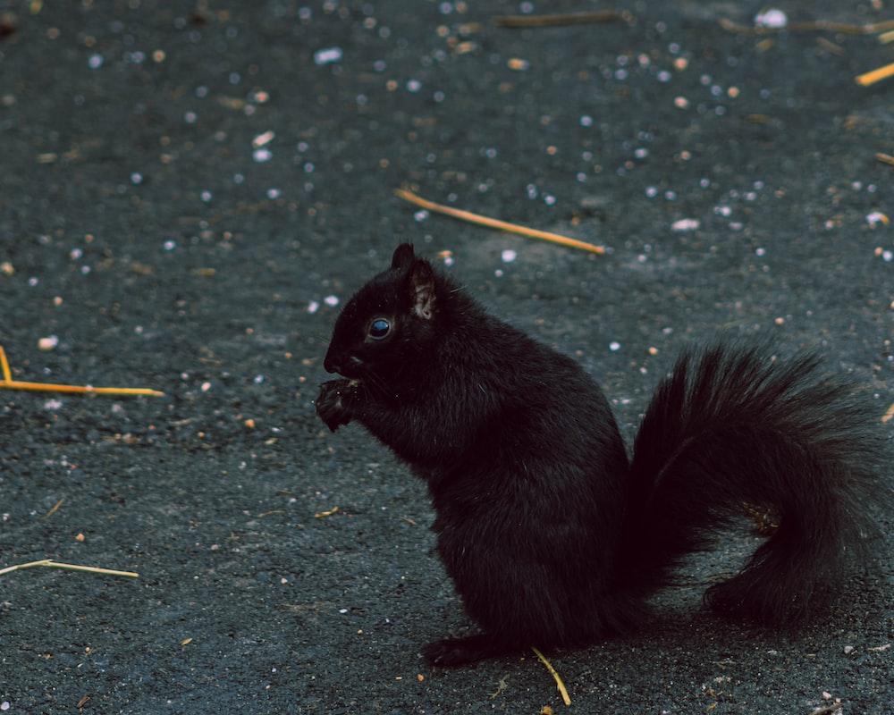 black squirrel on gray concrete floor