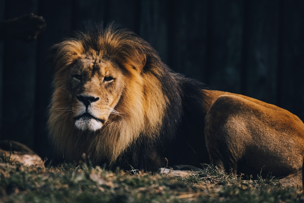 lion lying on ground during daytime