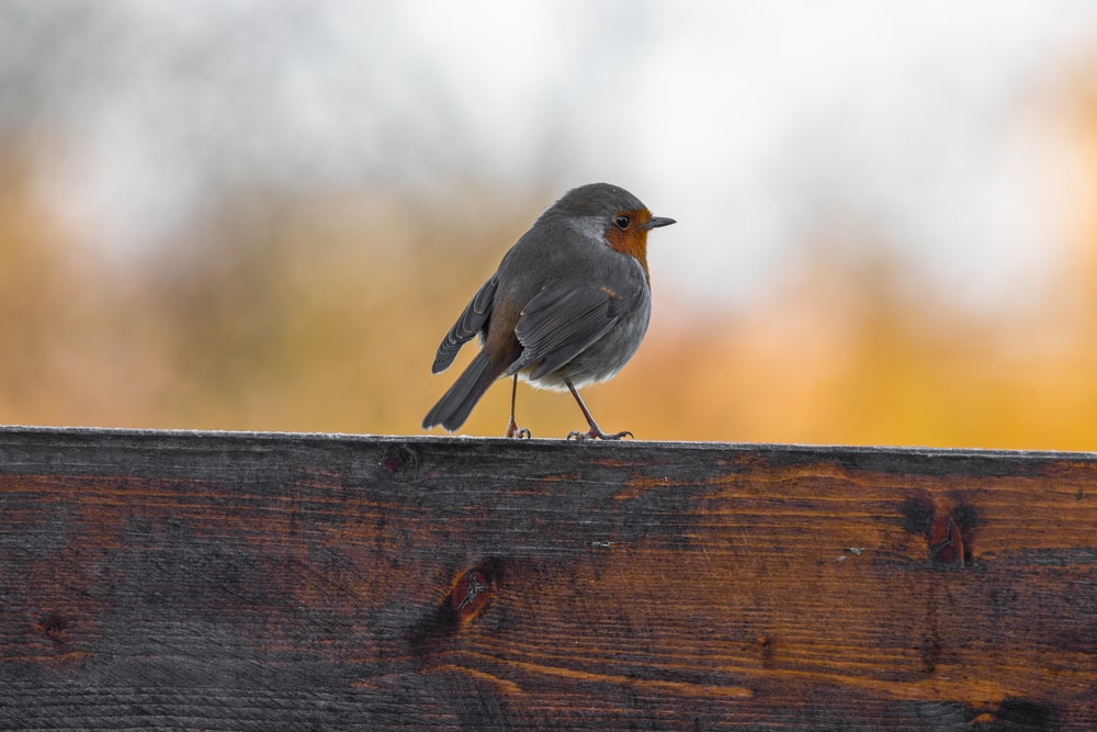 gray bird on brown wooden fence