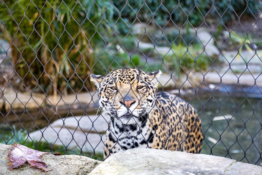 leopard lying on gray rock