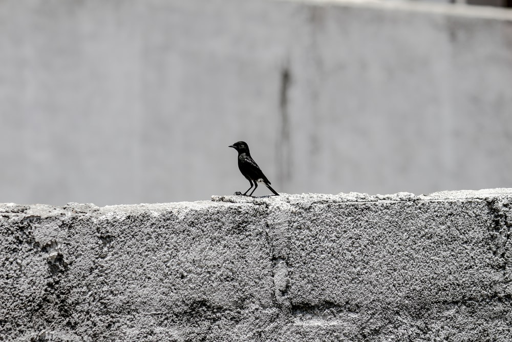 black bird on gray concrete wall during daytime