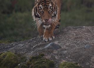brown tiger lying on gray rock during daytime