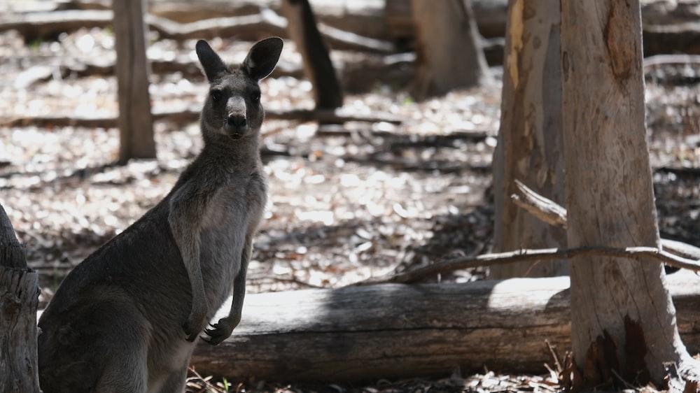 brown kangaroo on brown wood log during daytime