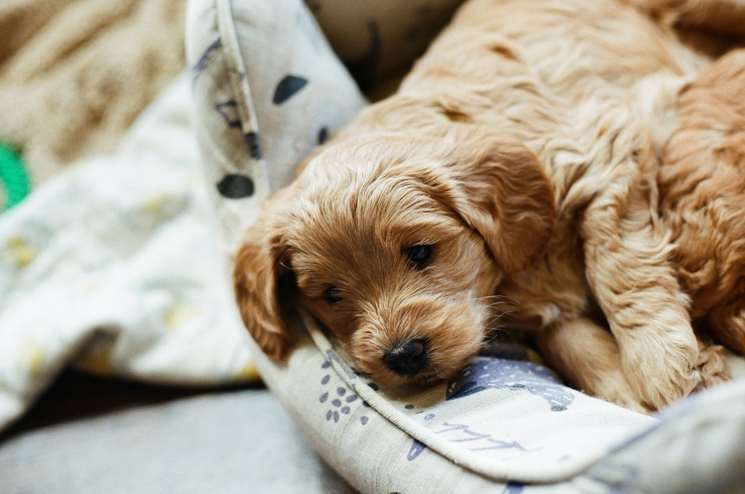 Brown Long Coated Small Dog Lying On White and Blue Textile - unsplash