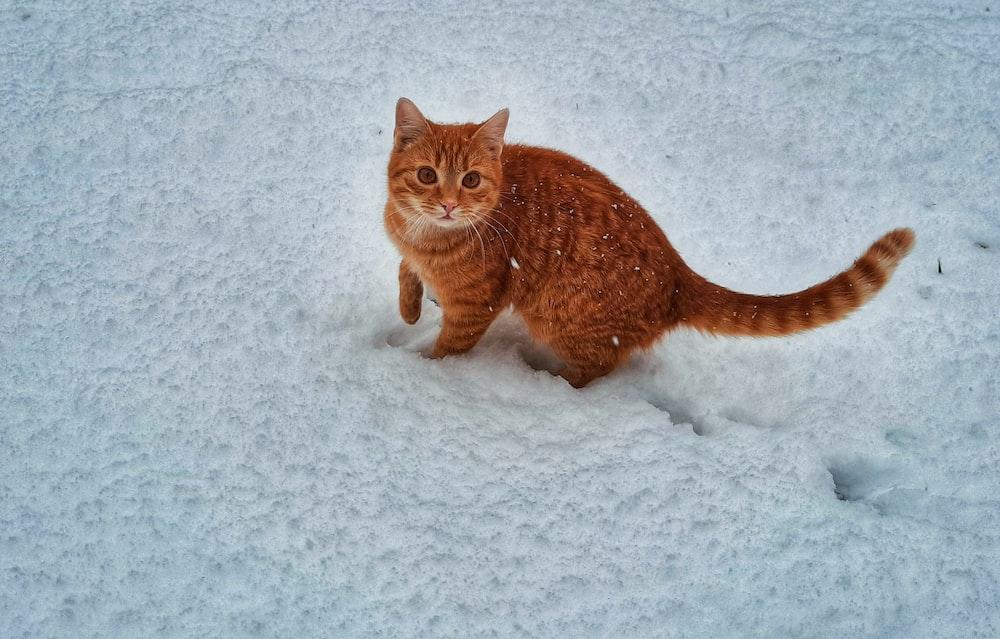 orange tabby cat on snow covered ground