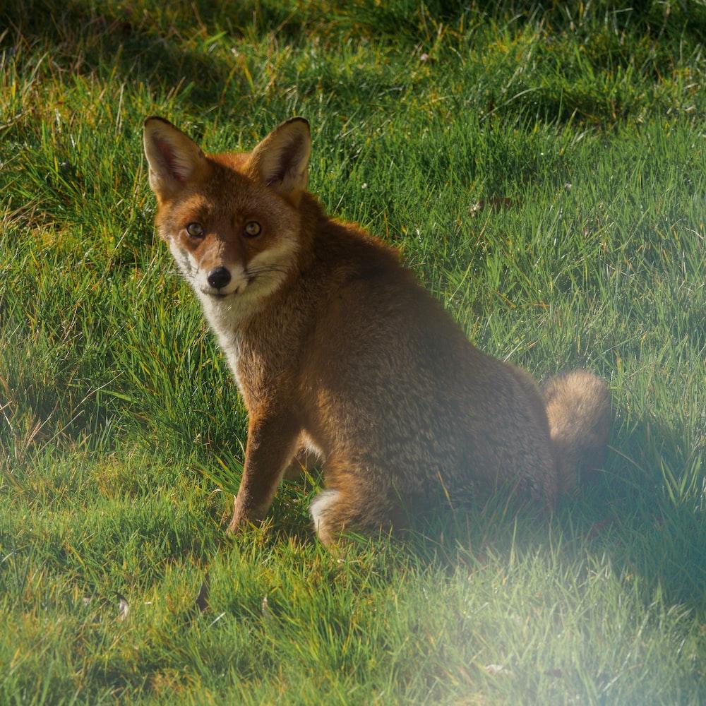 brown fox on green grass field during daytime