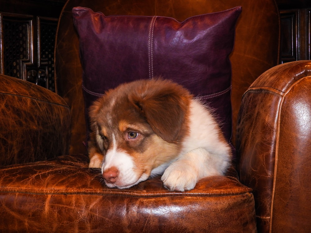brown and white long coated dog lying on brown leather couch