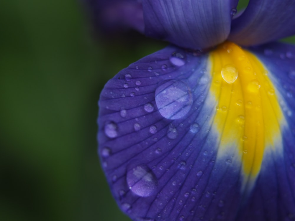 purple and yellow flower with water droplets