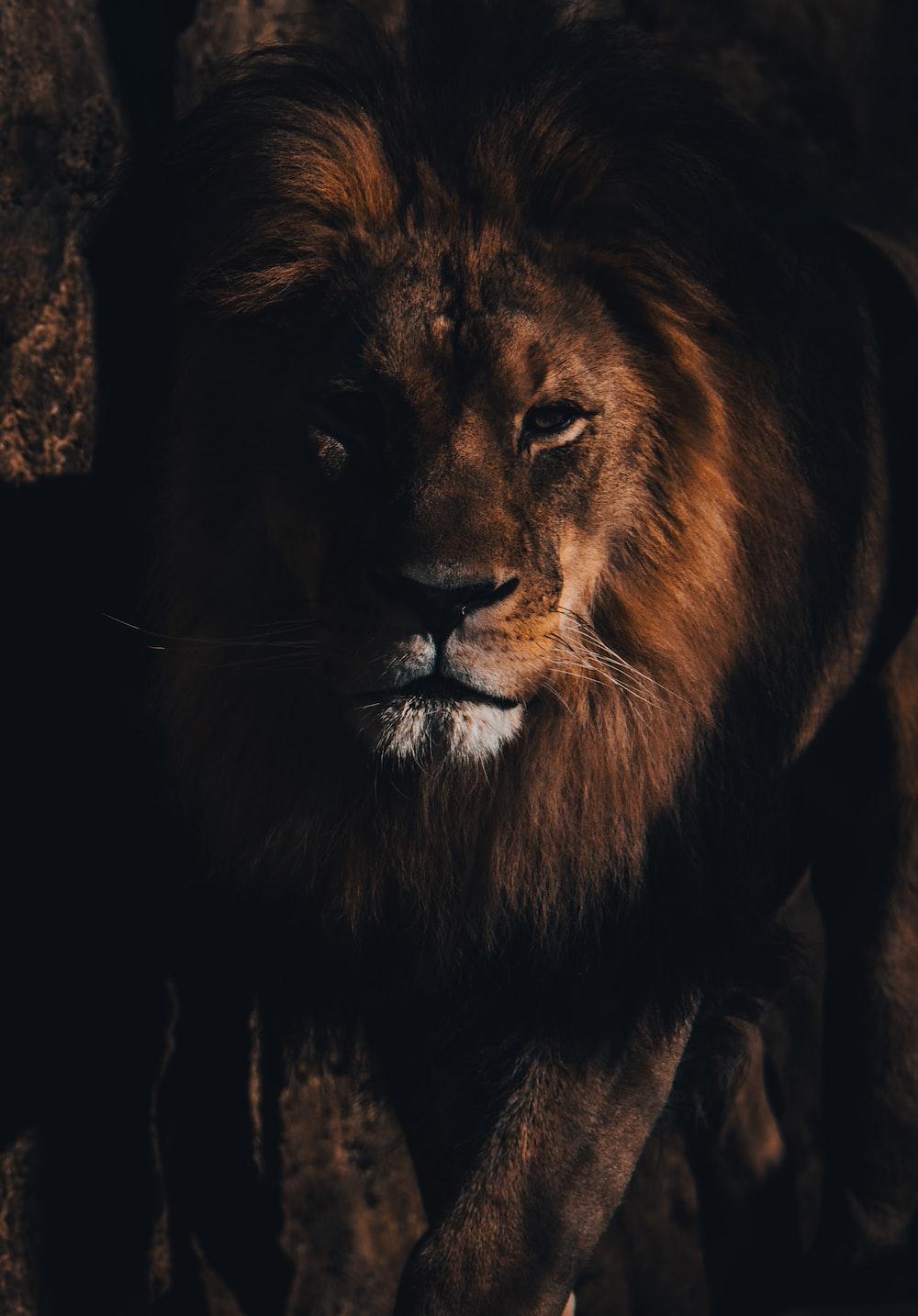 lion lying on brown rock