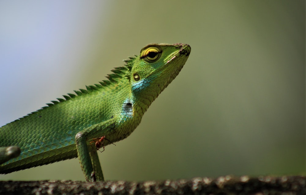 green and white lizard on brown wood