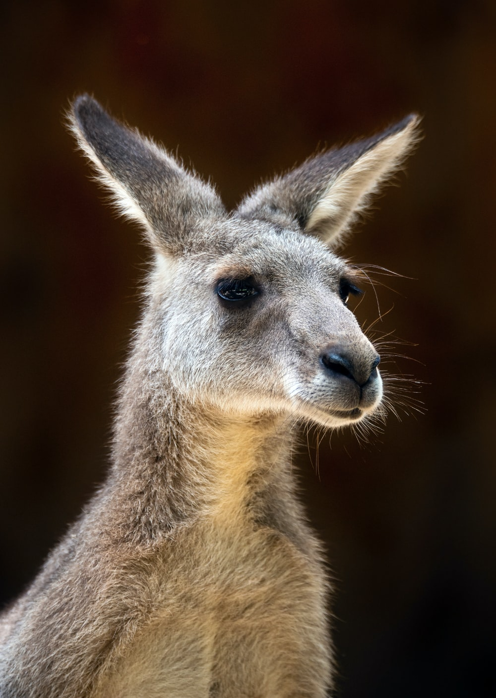 brown kangaroo in close up photography