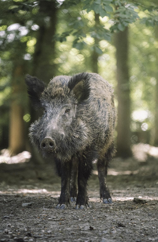 black wild boar walking on dirt ground during daytime