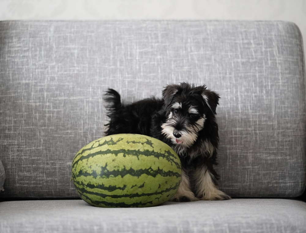 black and brown long coated small dog lying on green and yellow ball treat watermelon