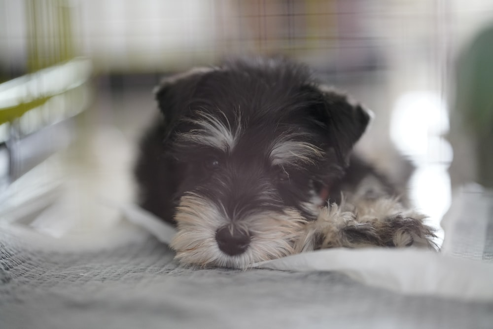 black and white long coat small dog lying on bed