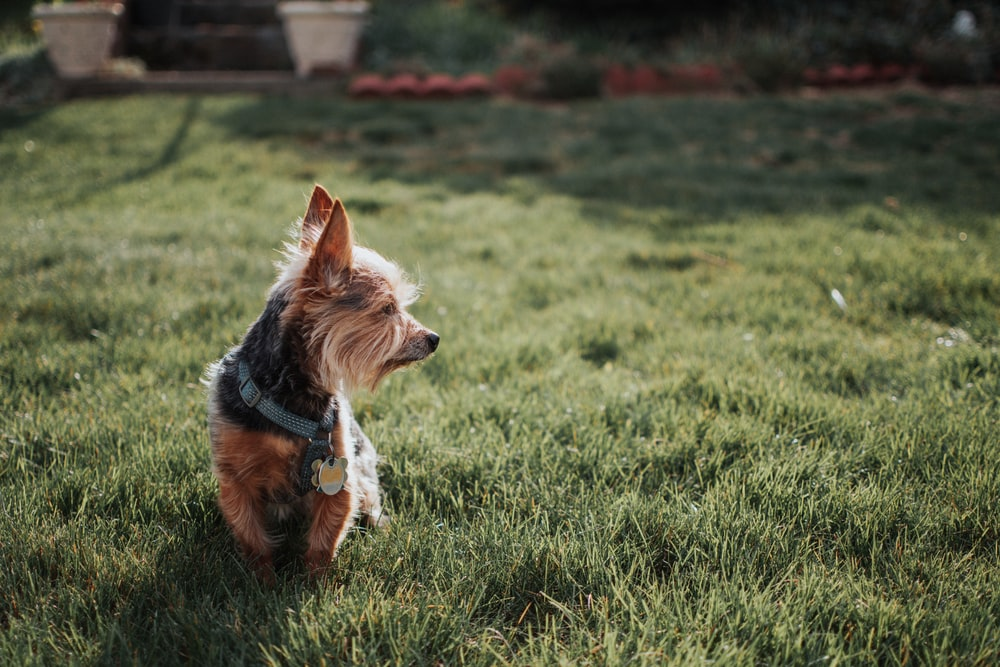 brown and black yorkshire terrier on green grass field during daytime