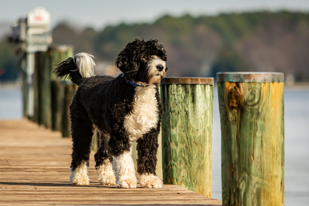 black and white long coated dog on brown wooden fence during daytime