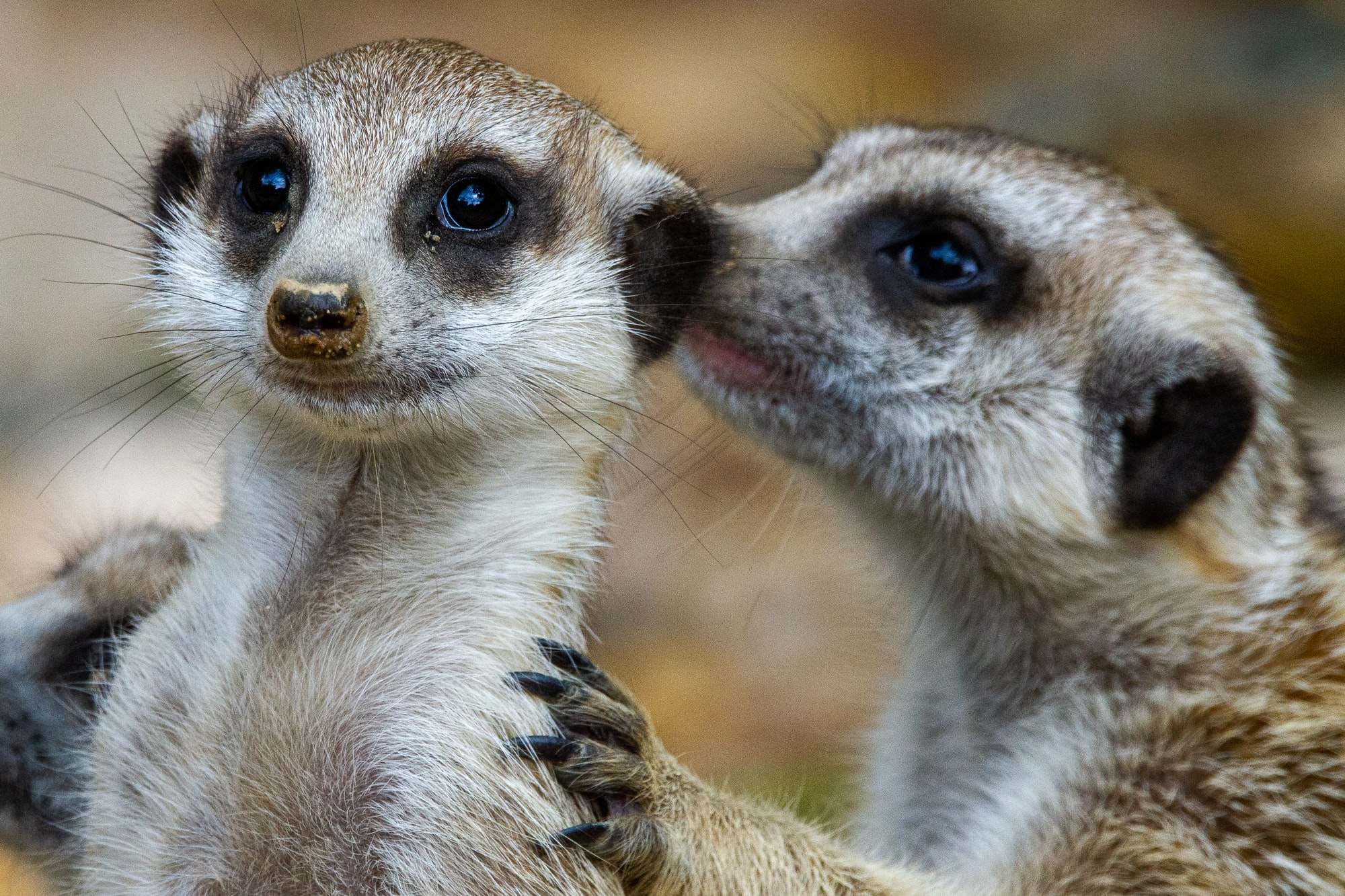 A meerkat whispers to another meerkat at the Memphis Zoo.