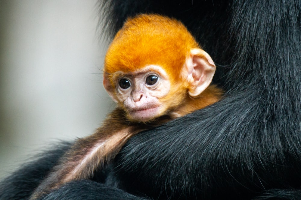 black and brown monkey in close up photography