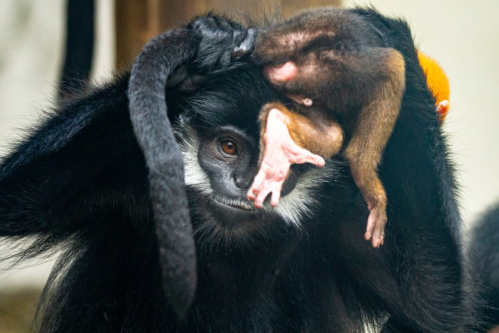black and brown monkey with tongue out