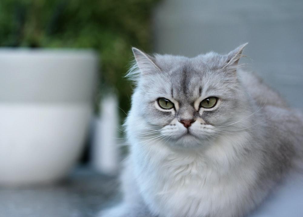 white persian cat on white ceramic bowl
