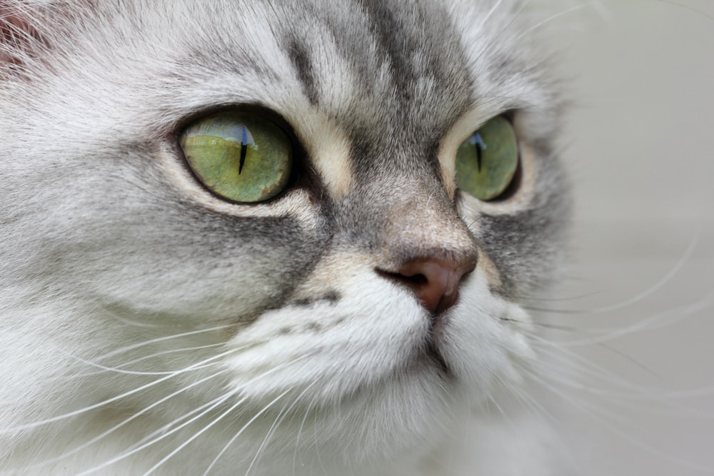 white and gray cat with yellow eyes