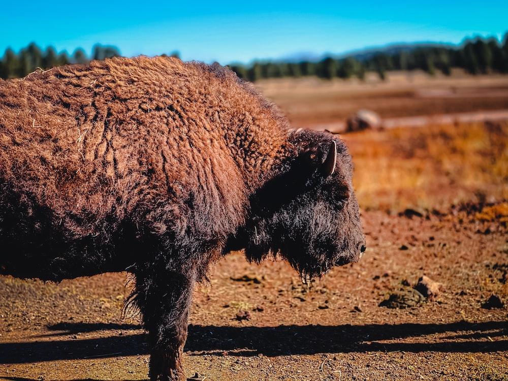 brown yak on brown field during daytime