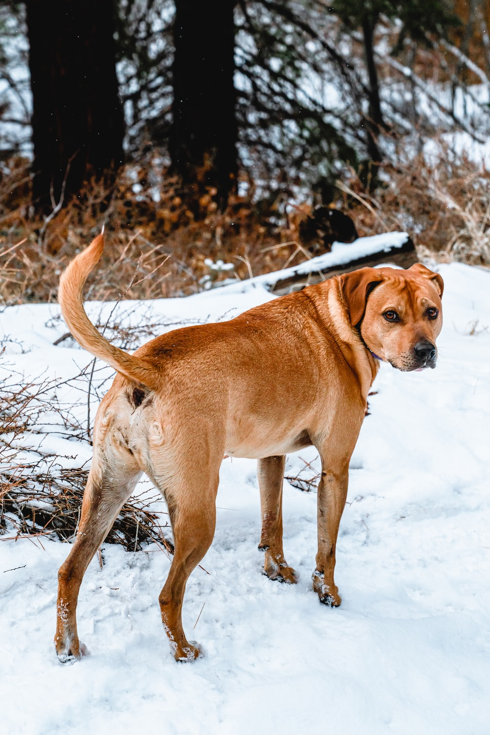 brown short coated dog on snow covered ground during daytime