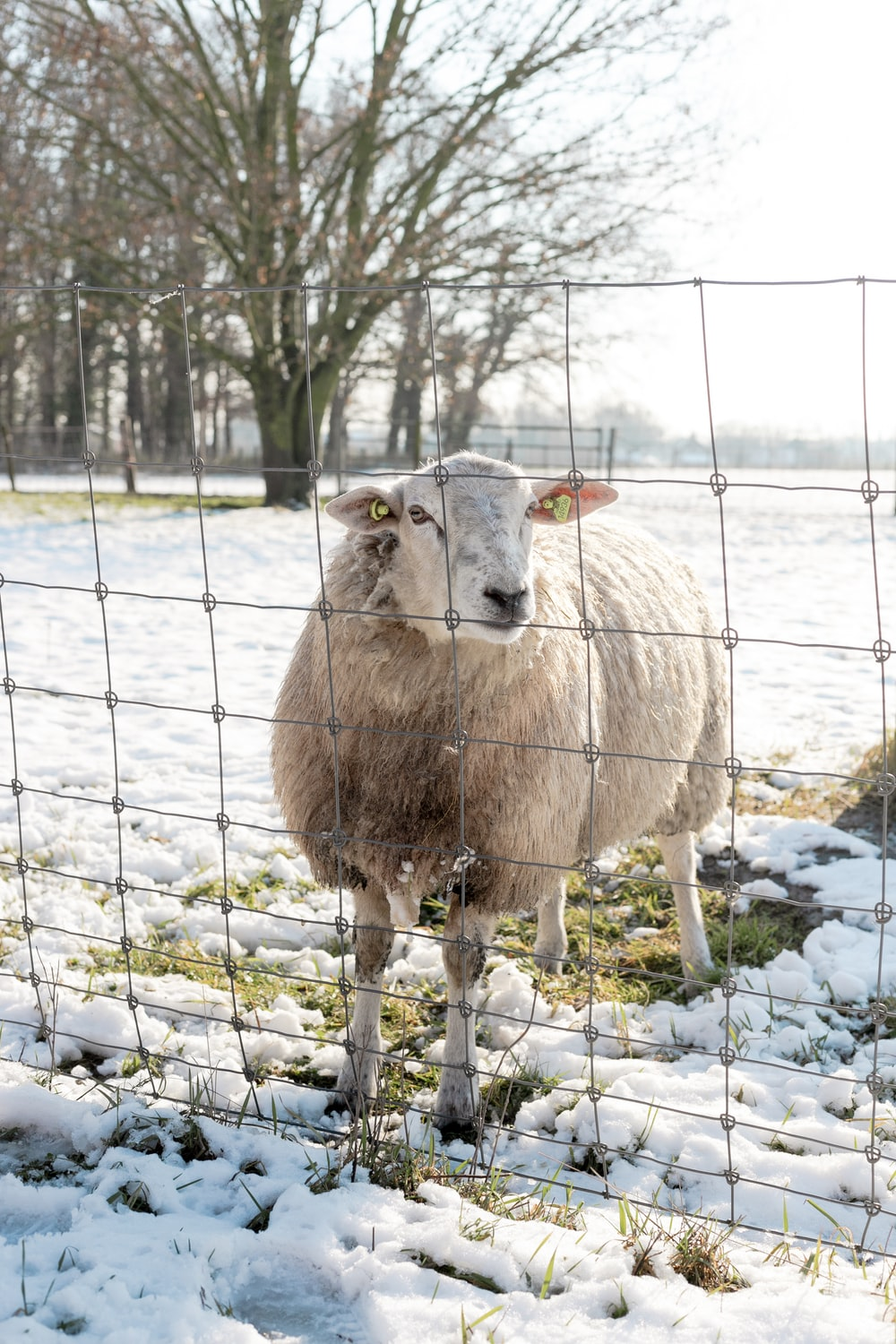 white sheep on white snow covered ground during daytime