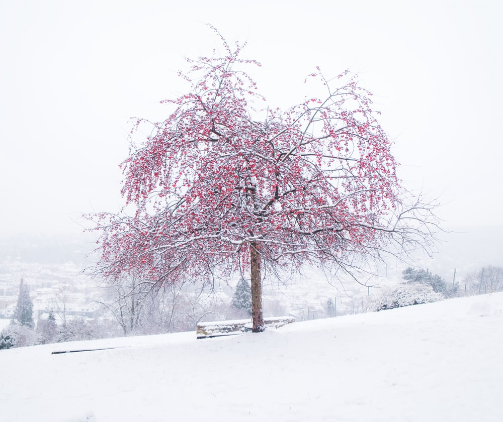 pink leaf tree on snow covered ground during daytime