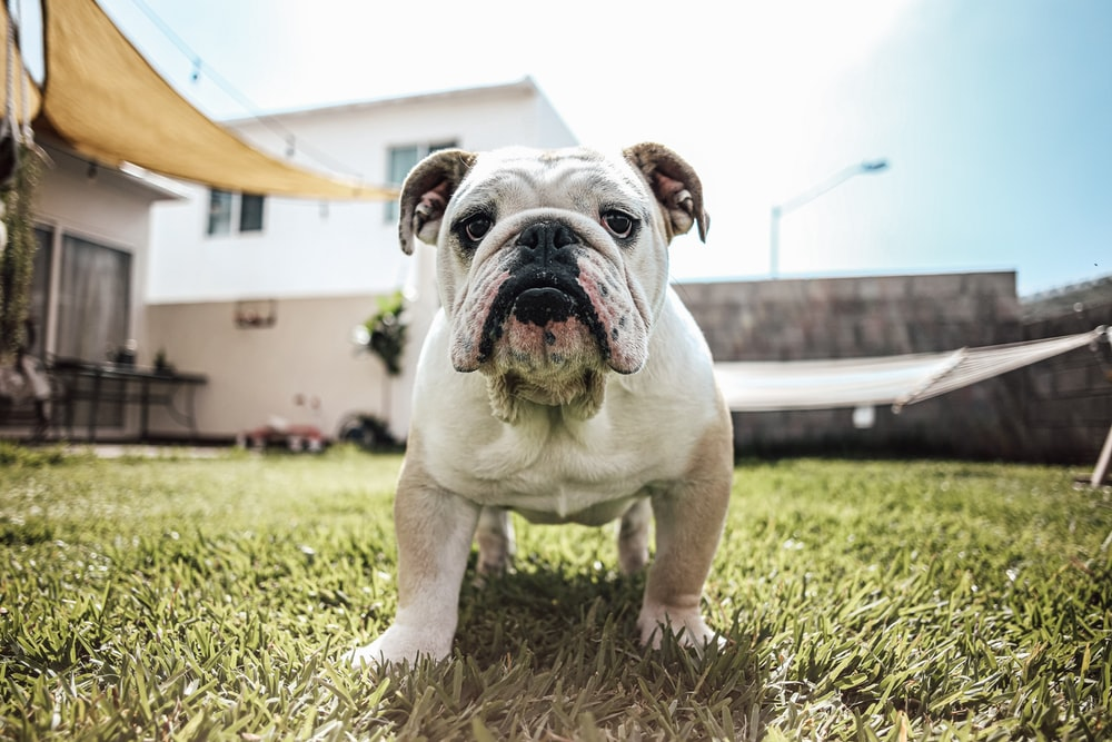 white and brown bulldog on green grass during daytime