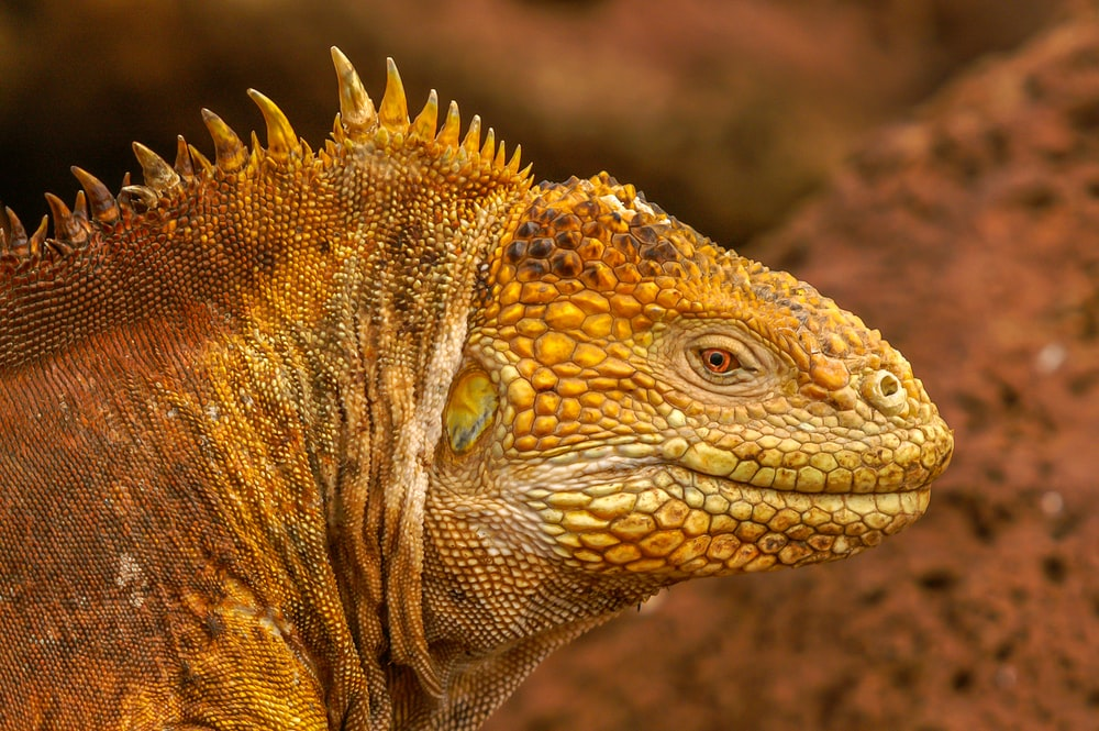 brown and black iguana in close up photography