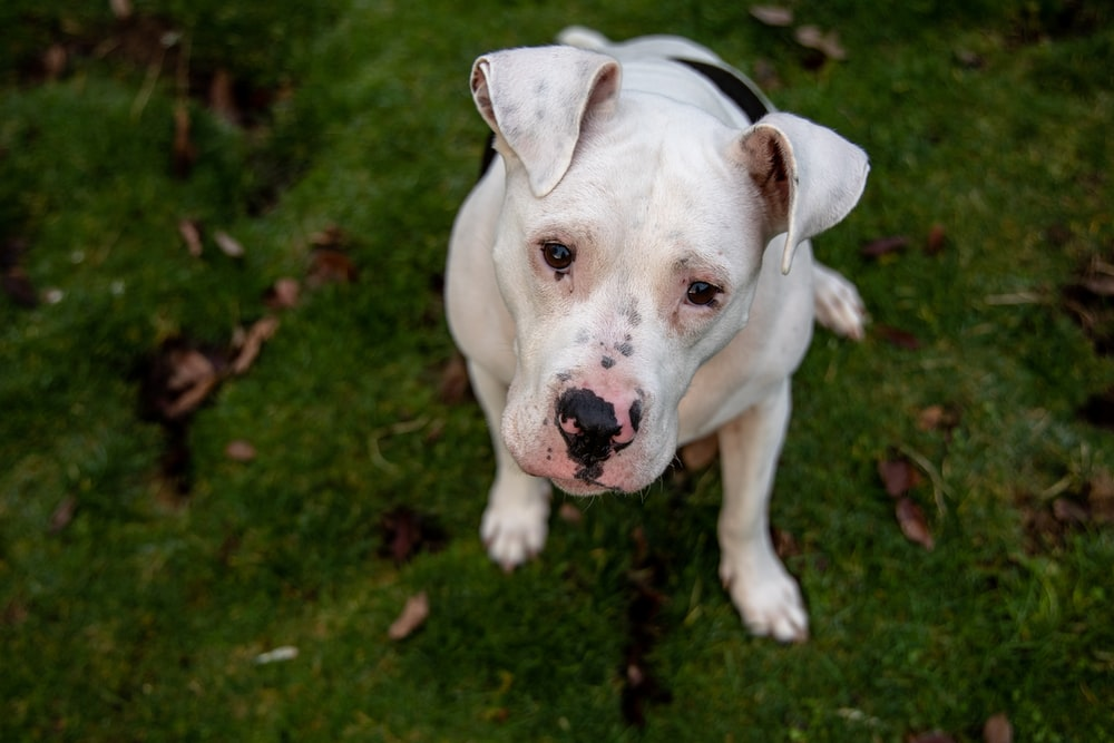 white american pitbull terrier puppy on green grass field
