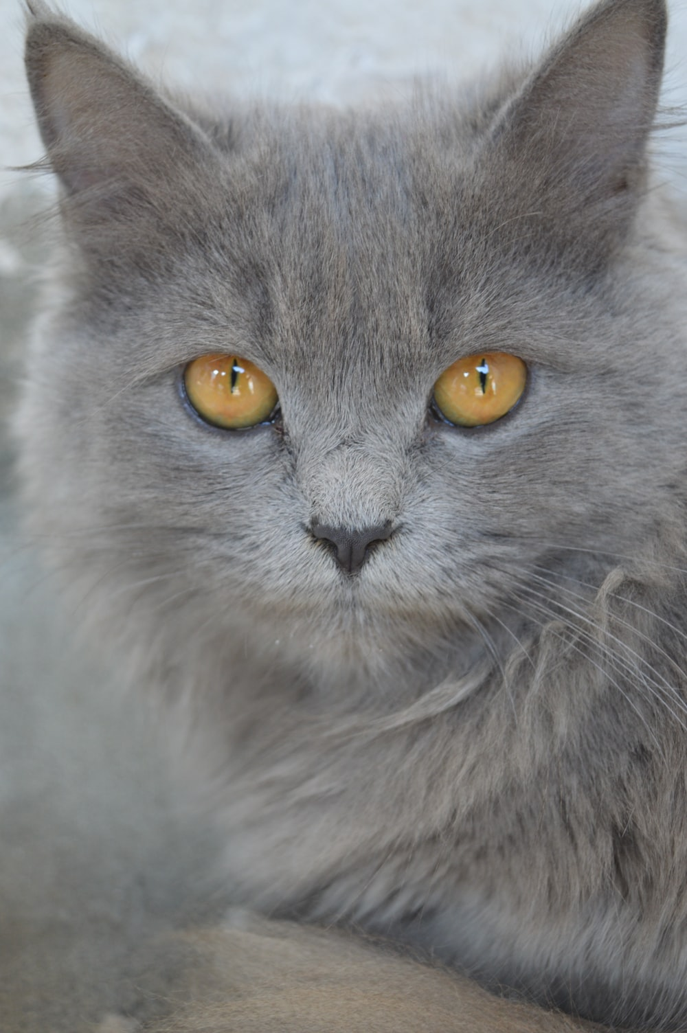 gray cat in close up photography