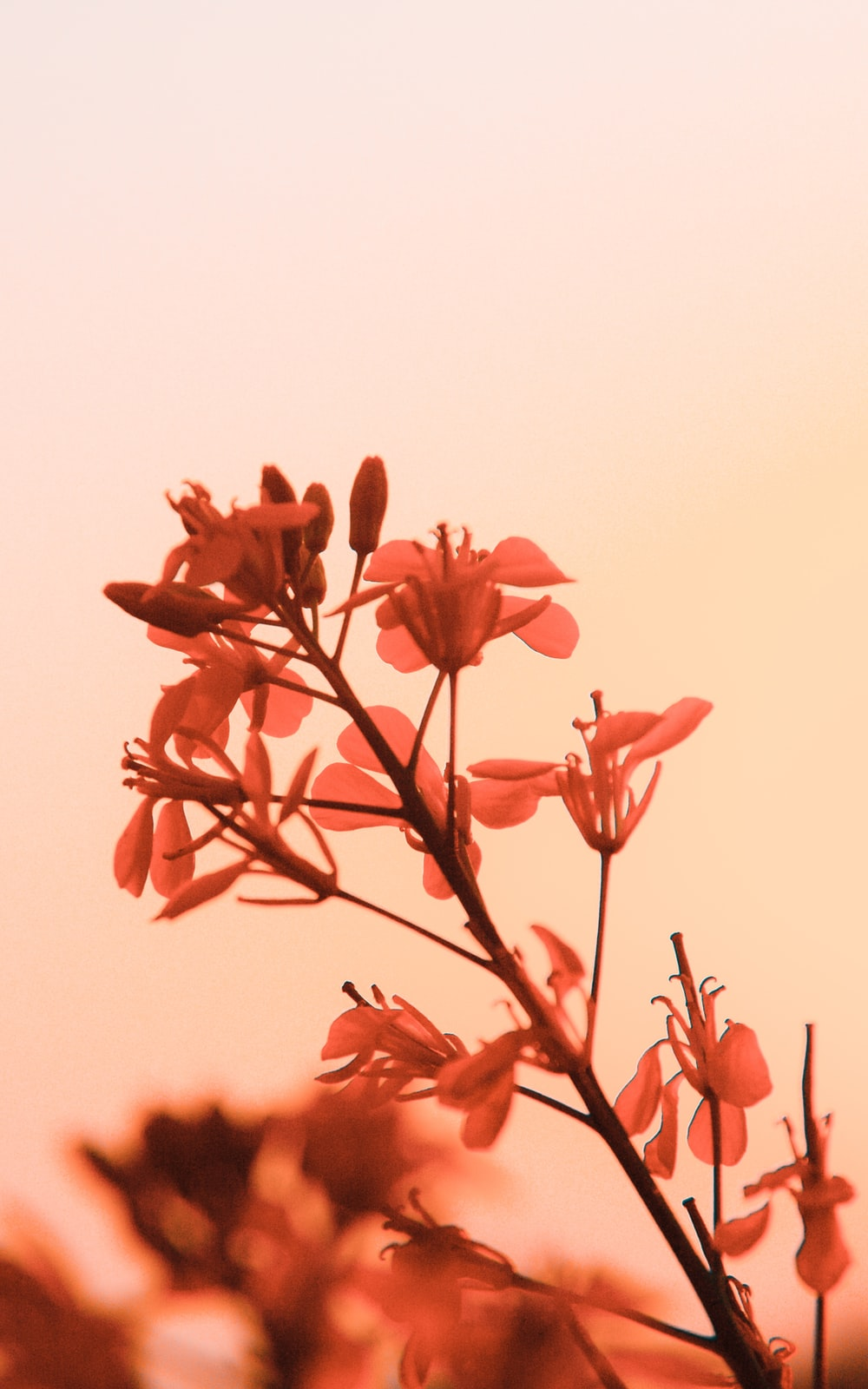 red flowers with white background