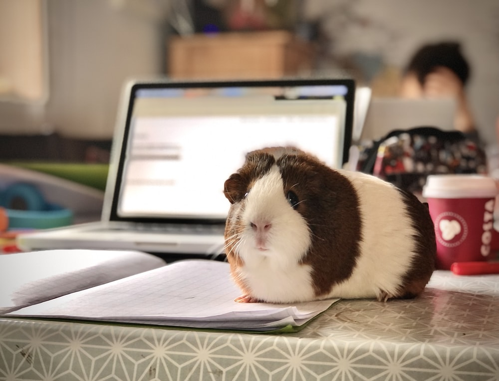 white and brown guinea pig on white paper