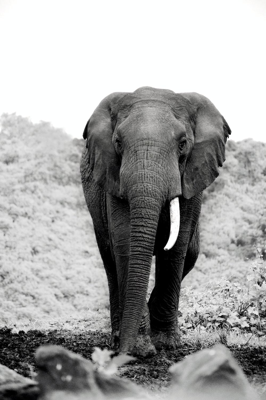 grayscale photo of elephant walking on sand