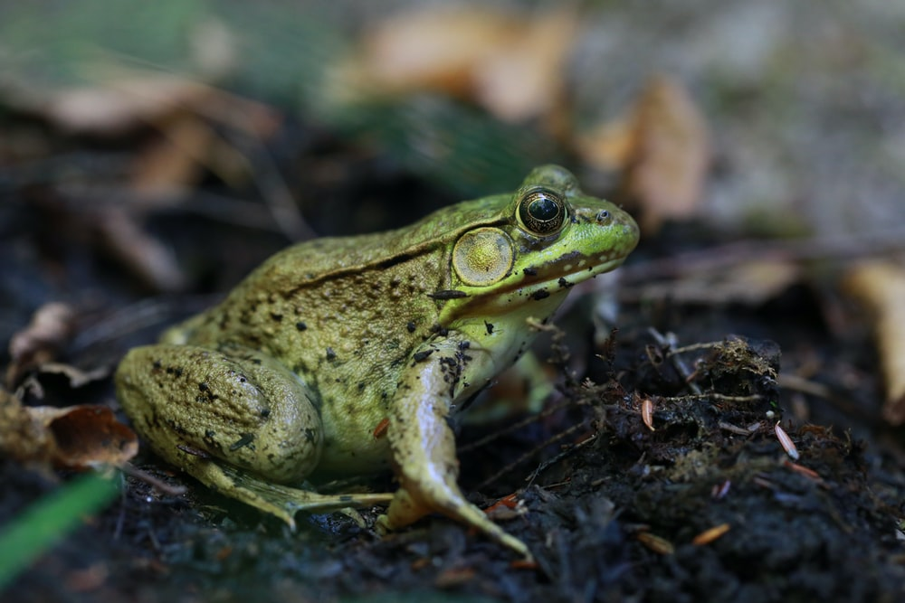 green frog on brown soil