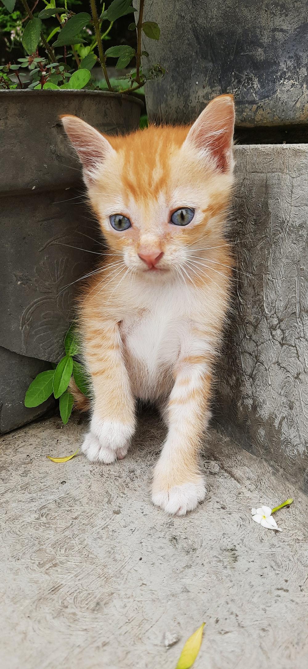 orange and white tabby kitten