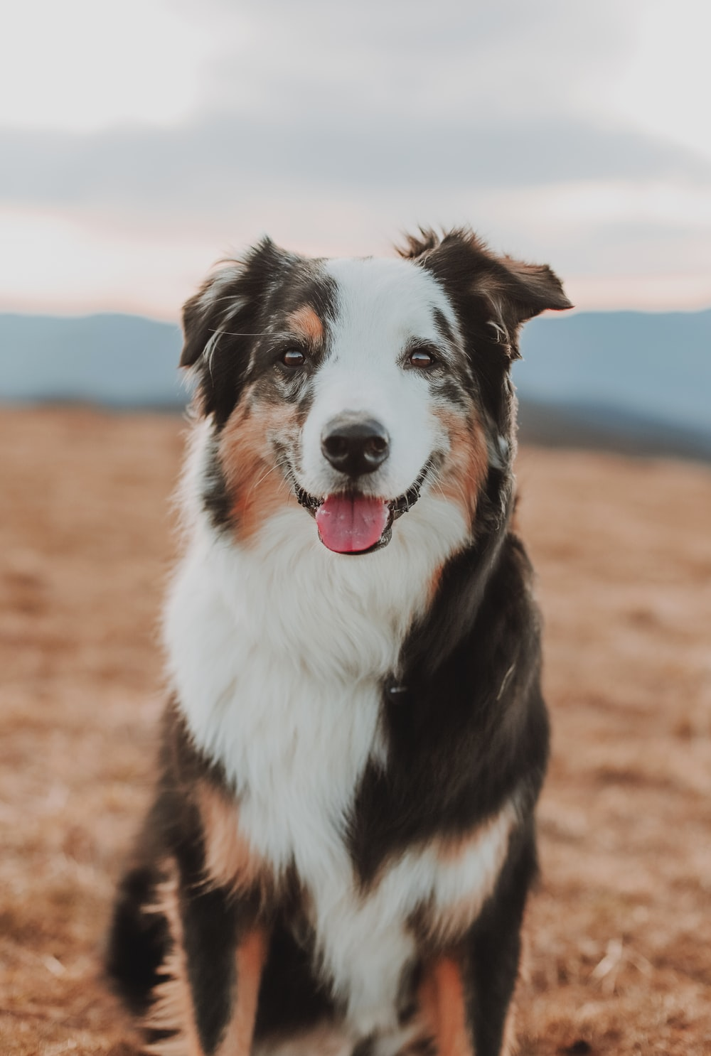 black white and brown border collie