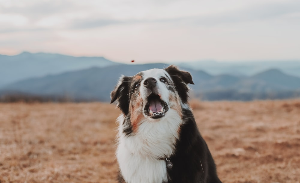 black and white border collie on brown field during daytime