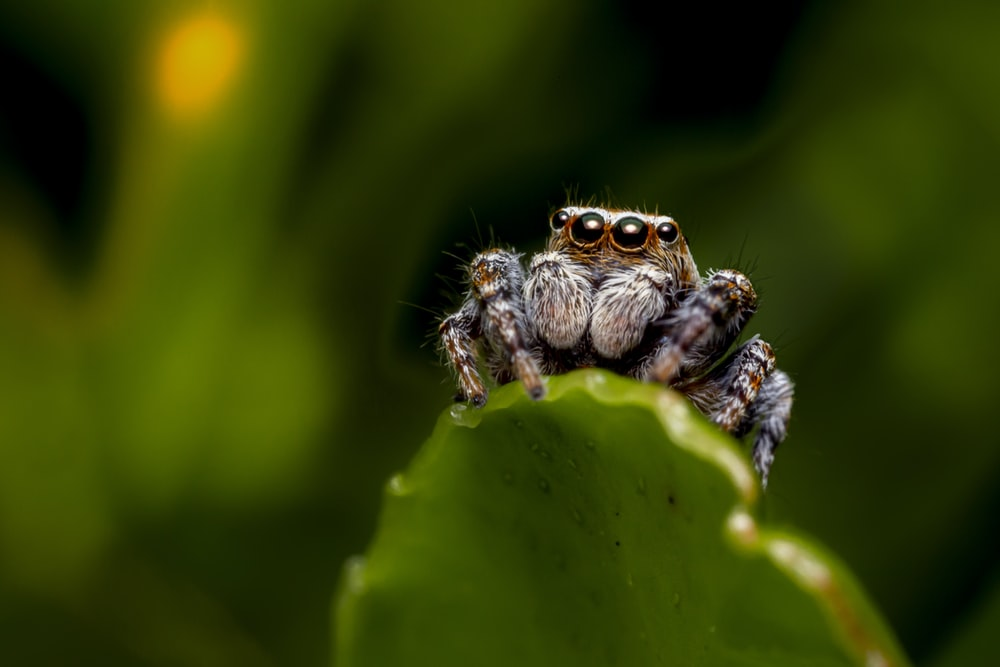 brown jumping spider on green leaf