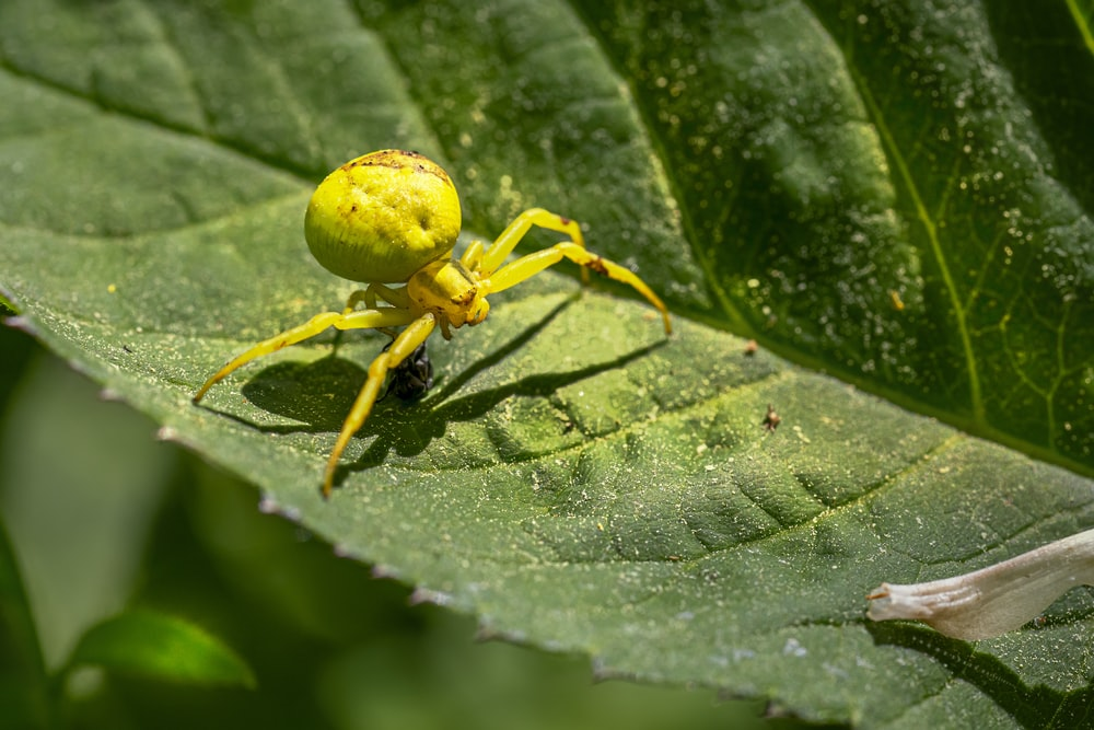 yellow spider on green leaf