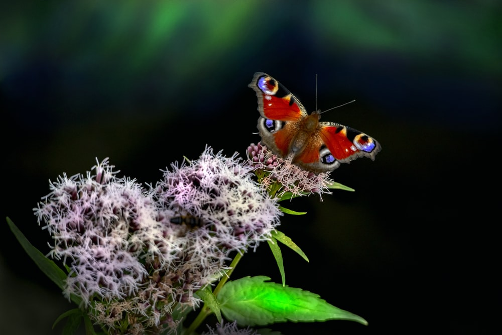 red and black butterfly perched on white flower in close up photography during daytime